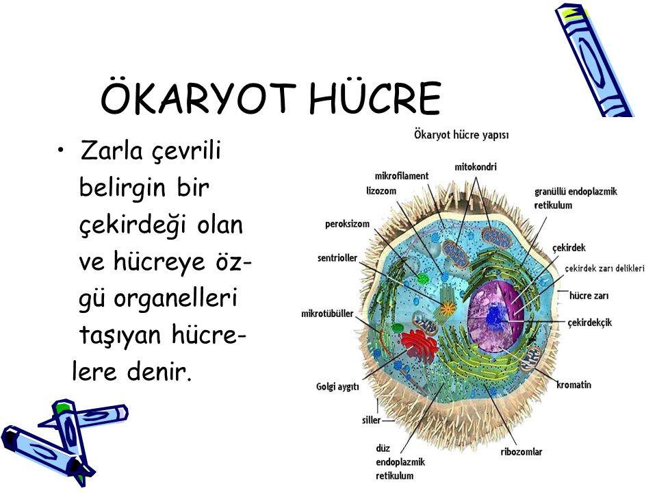 ÖKARYOT HÜCRE Zarla çevrili belirgin bir çekirdeği olan ve hücreye öz-