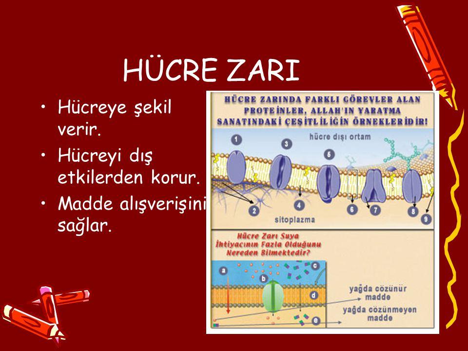 HÜCRE ZARI Hücreye şekil verir. Hücreyi dış etkilerden korur.