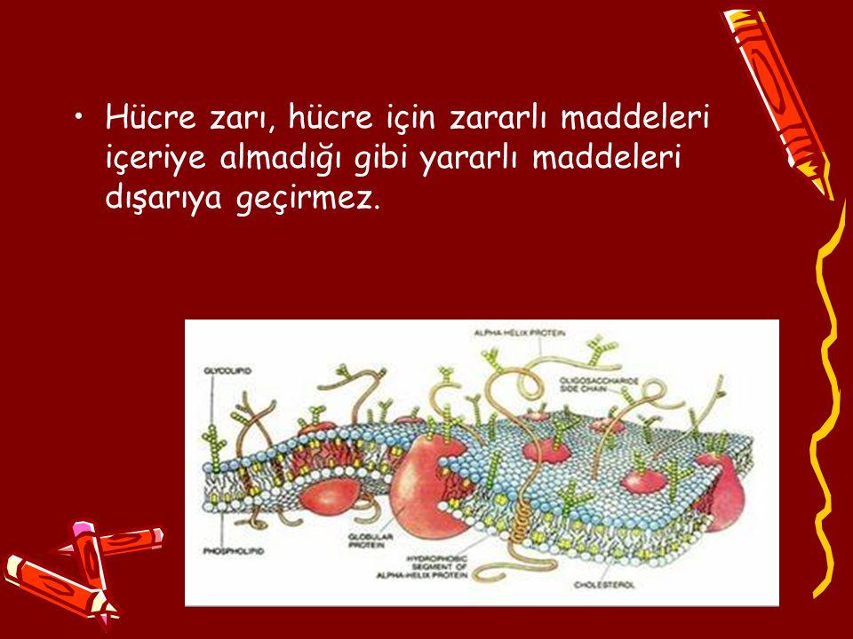 Hücre zarı, hücre için zararlı maddeleri içeriye almadığı gibi yararlı maddeleri dışarıya geçirmez.