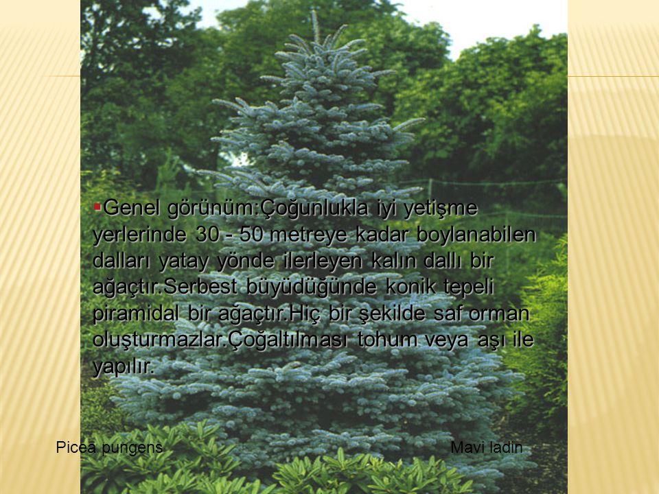 Genel görünüm:Çoğunlukla iyi yetişme yerlerinde 30 - 50 metreye kadar boylanabilen dalları yatay yönde ilerleyen kalın dallı bir ağaçtır.Serbest büyüdüğünde konik tepeli piramidal bir ağaçtır.Hiç bir şekilde saf orman oluşturmazlar.Çoğaltılması tohum veya aşı ile yapılır.