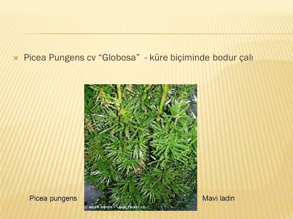 Picea Pungens cv Globosa - küre biçiminde bodur çalı