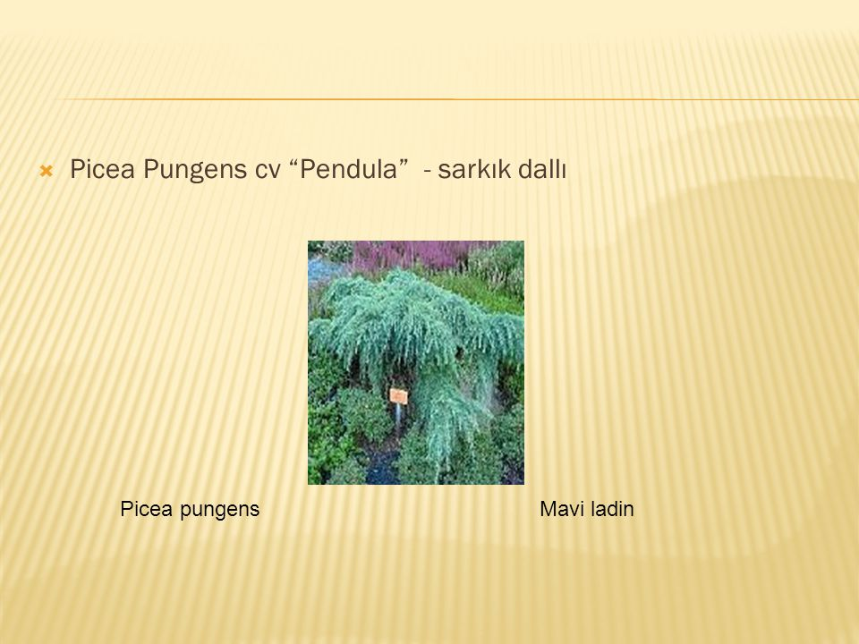 Picea Pungens cv Pendula - sarkık dallı
