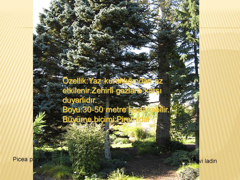 Boyu:30-50 metre boylanabilir. Büyüme biçimi:Piramidal