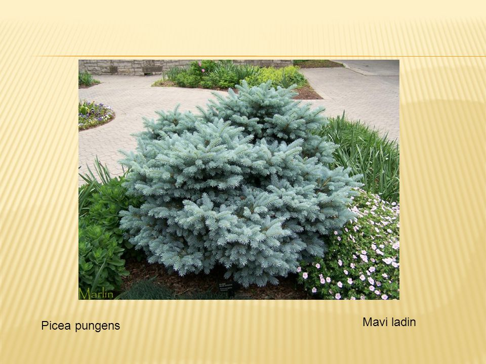 Mavi ladin Picea pungens