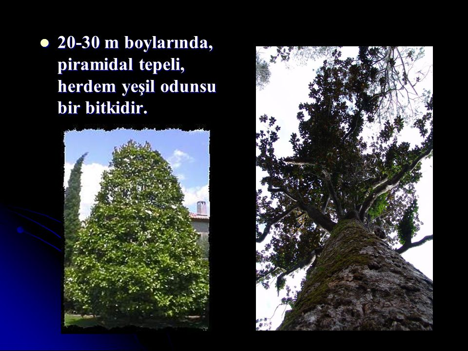 20-30 m boylarında, piramidal tepeli, herdem yeşil odunsu bir bitkidir.