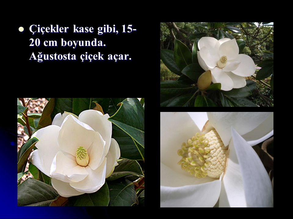 Çiçekler kase gibi, 15-20 cm boyunda. Ağustosta çiçek açar.