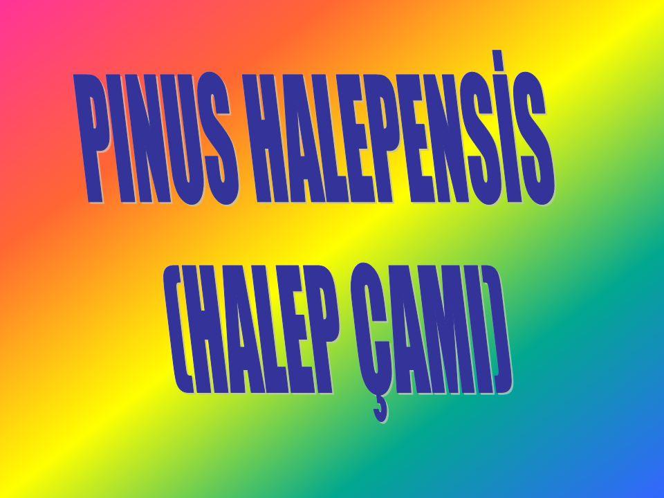 PINUS HALEPENSİS (HALEP ÇAMI)