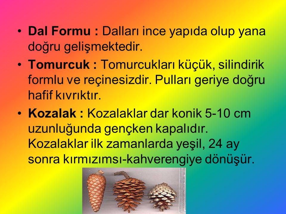 Dal Formu : Dalları ince yapıda olup yana doğru gelişmektedir.