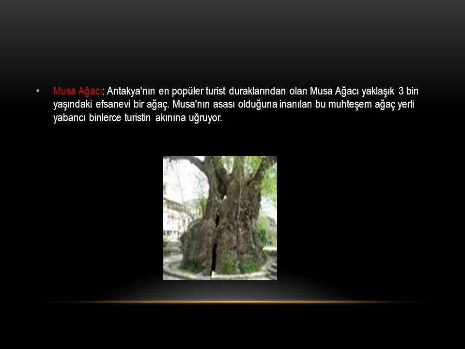 Musa Ağacı: Antakya nın en popüler turist duraklarından olan Musa Ağacı yaklaşık 3 bin yaşındaki efsanevi bir ağaç.