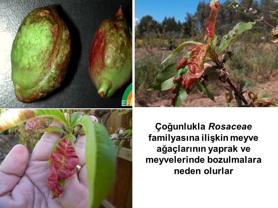 Çoğunlukla Rosaceae familyasına ilişkin meyve ağaçlarının yaprak ve meyvelerinde bozulmalara neden olurlar