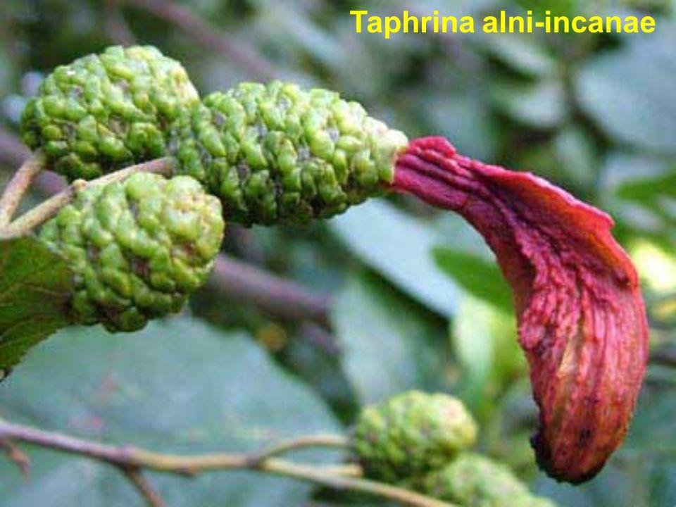 Taphrina alni-incanae
