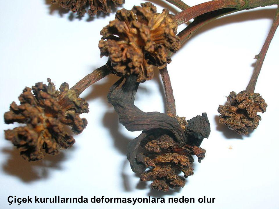 Çiçek kurullarında deformasyonlara neden olur