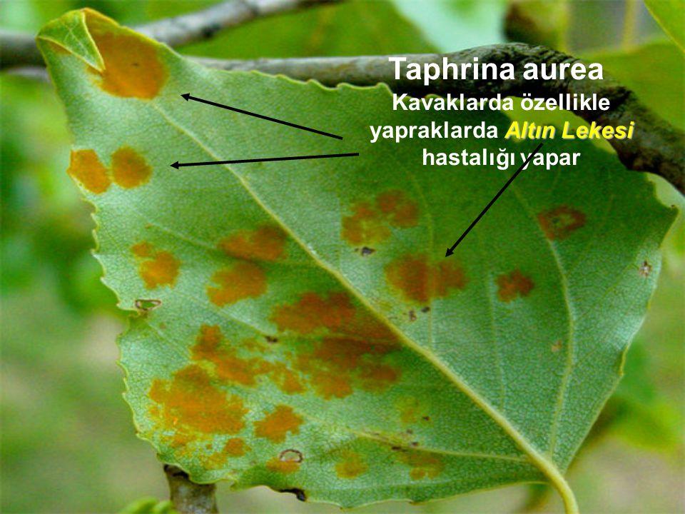 Kavaklarda özellikle yapraklarda Altın Lekesi hastalığı yapar