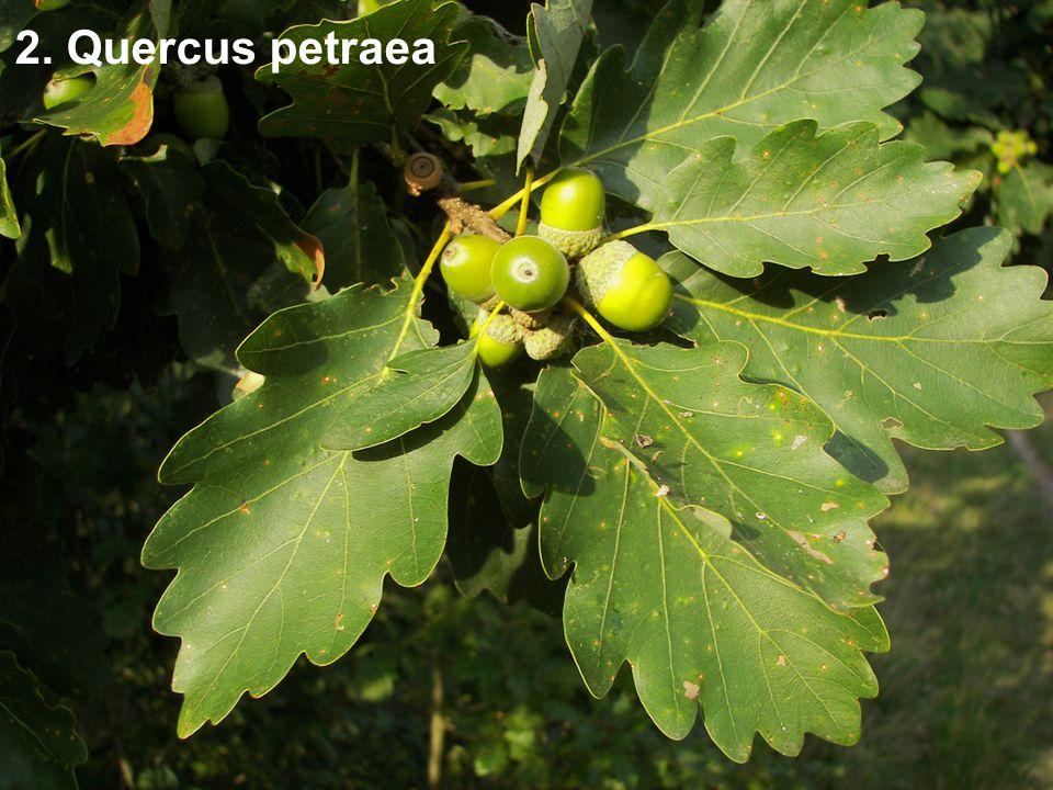 2. Quercus petraea