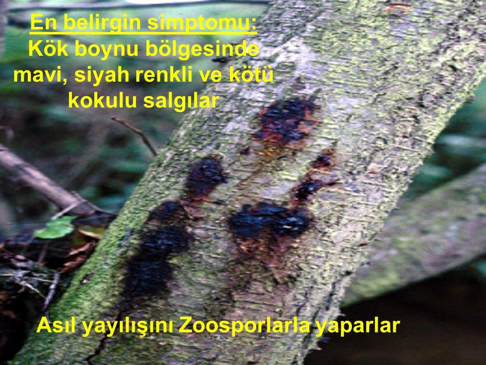 Asıl yayılışını Zoosporlarla yaparlar