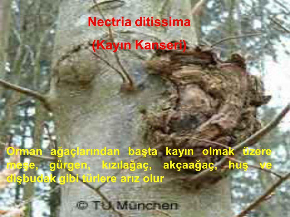 Nectria ditissima (Kayın Kanseri)