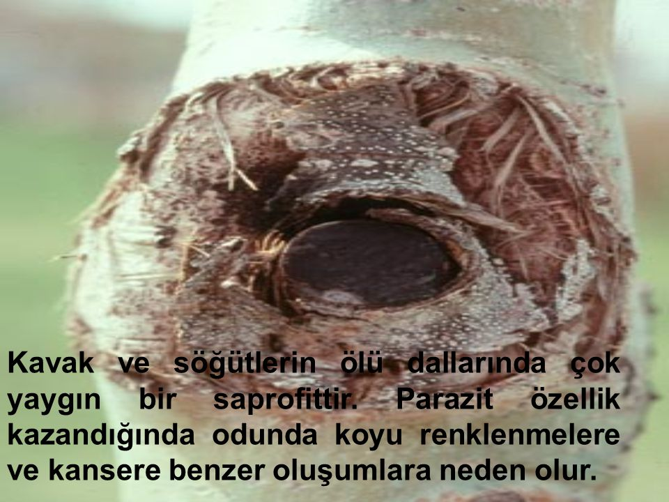 Kavak ve söğütlerin ölü dallarında çok yaygın bir saprofittir