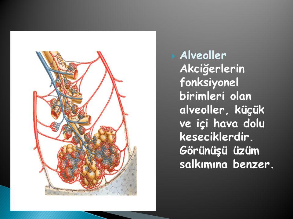 Alveoller Akciğerlerin fonksiyonel birimleri olan alveoller, küçük ve içi hava dolu keseciklerdir.