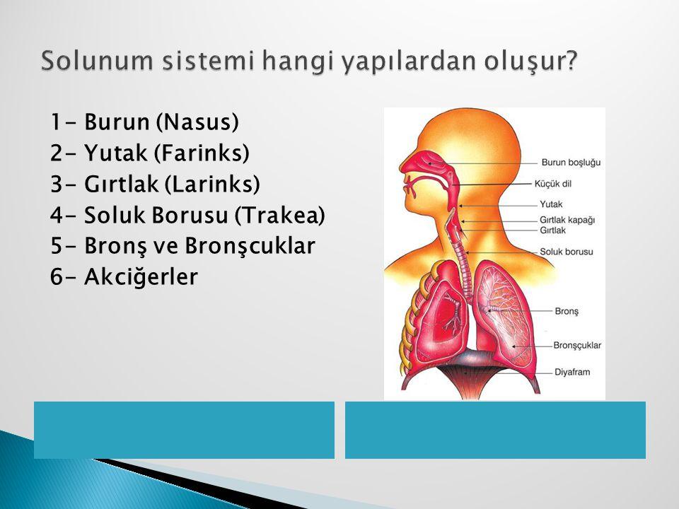 Solunum sistemi hangi yapılardan oluşur