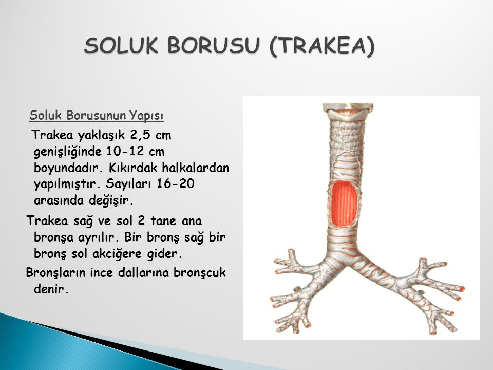 SOLUK BORUSU (TRAKEA) Soluk Borusunun Yapısı