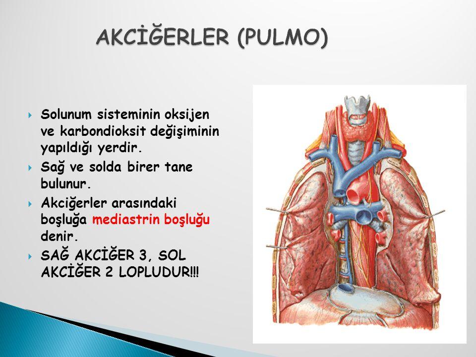 AKCİĞERLER (PULMO) Solunum sisteminin oksijen ve karbondioksit değişiminin yapıldığı yerdir. Sağ ve solda birer tane bulunur.