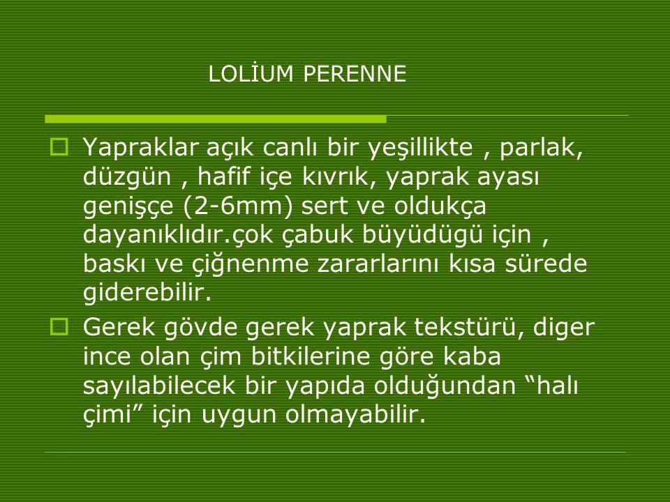 LOLİUM PERENNE