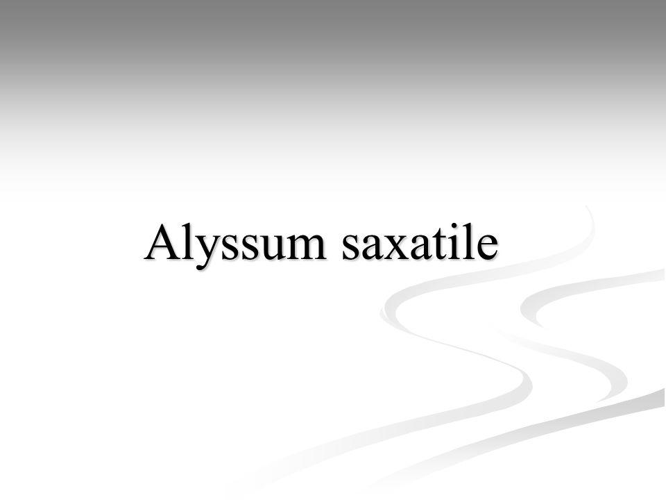 Alyssum saxatile