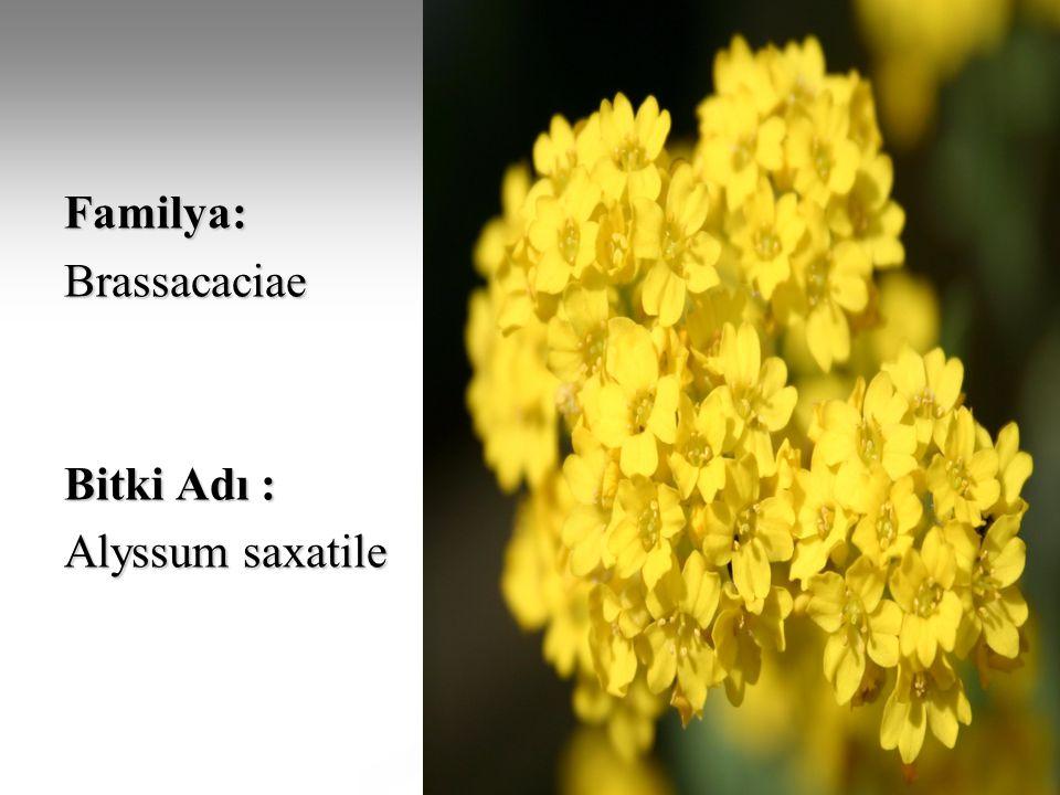 Familya: Brassacaciae Bitki Adı : Alyssum saxatile