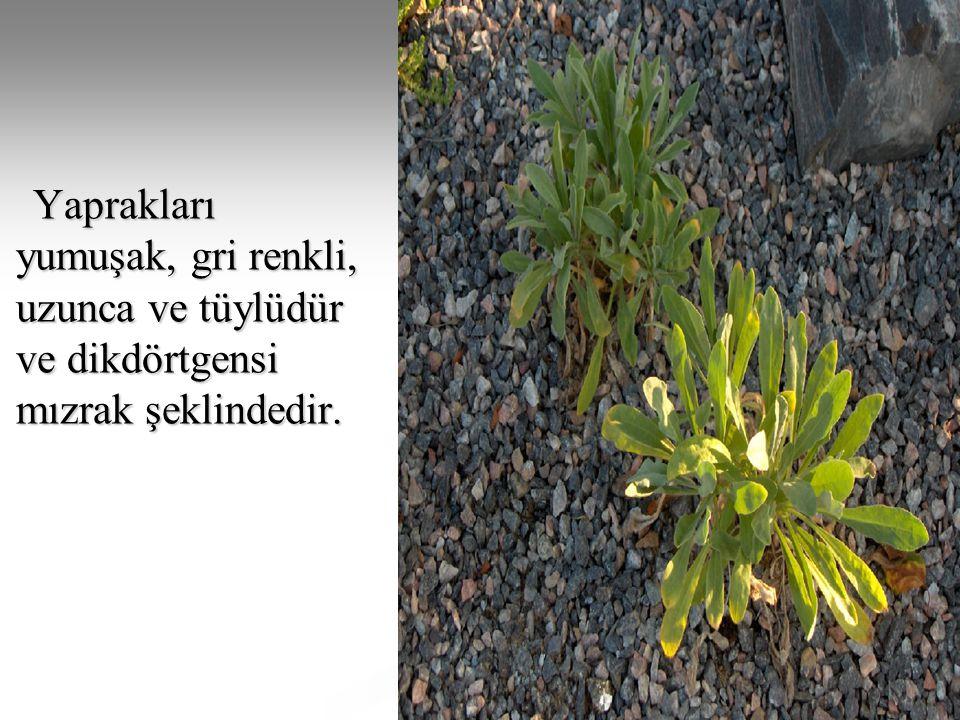 Yaprakları yumuşak, gri renkli, uzunca ve tüylüdür ve dikdörtgensi mızrak şeklindedir.