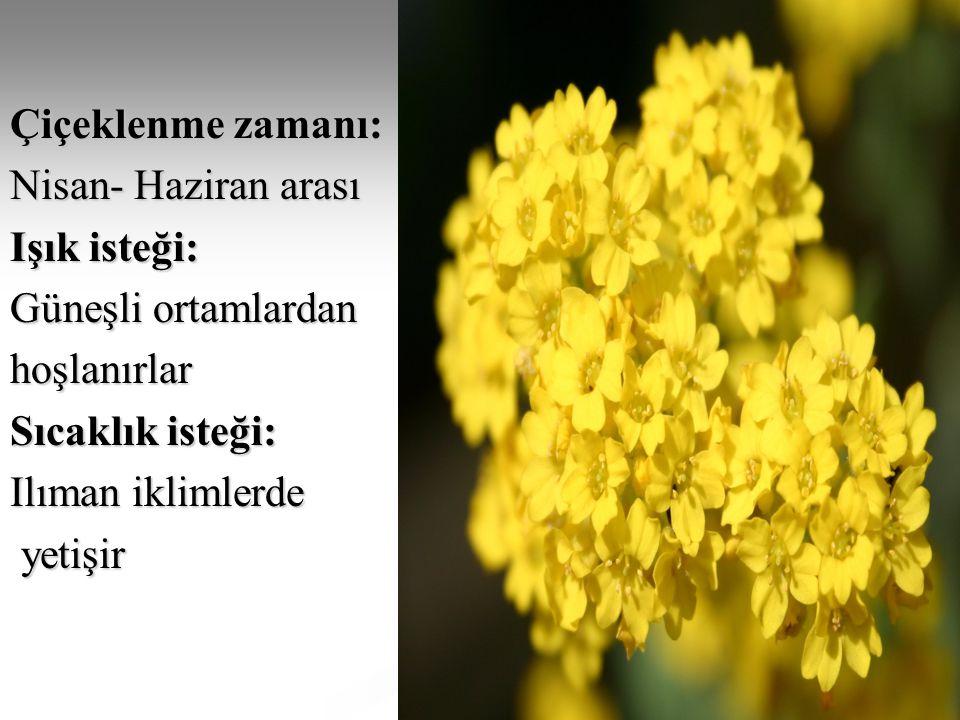 Çiçeklenme zamanı: Nisan- Haziran arası Işık isteği: Güneşli ortamlardan hoşlanırlar Sıcaklık isteği: Ilıman iklimlerde yetişir