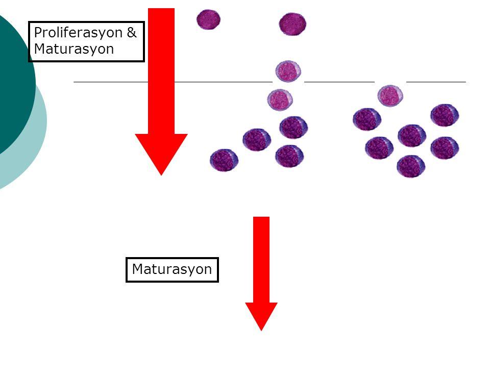 Proliferasyon & Maturasyon Maturasyon