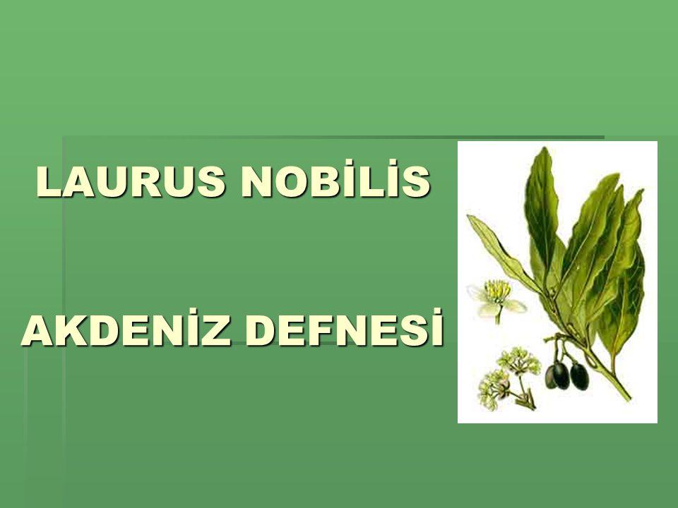 LAURUS NOBİLİS AKDENİZ DEFNESİ