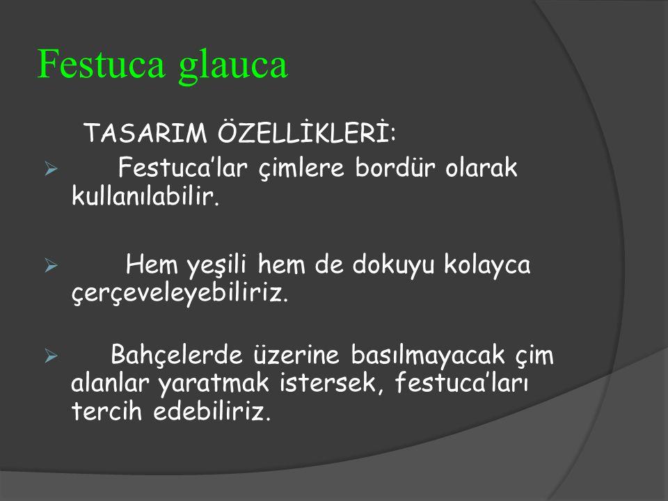 Festuca glauca TASARIM ÖZELLİKLERİ: