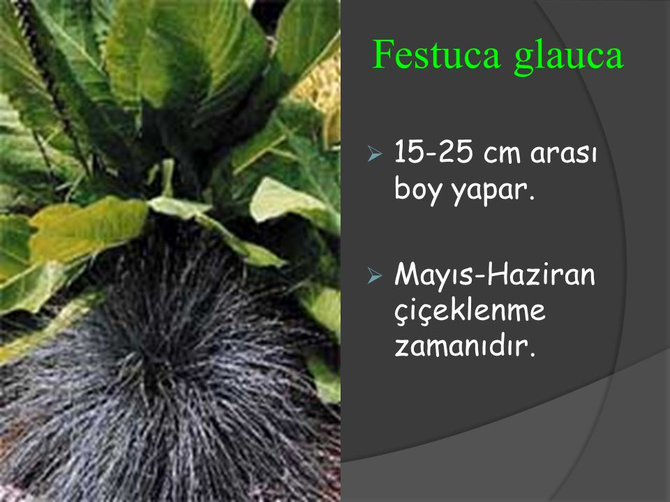 Festuca glauca 15-25 cm arası boy yapar.