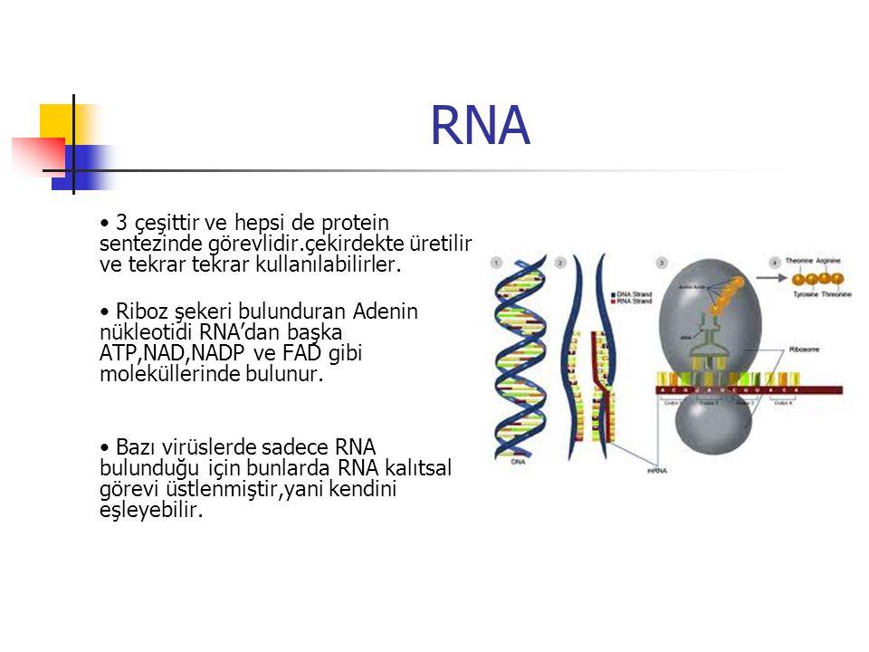 RNA • 3 çeşittir ve hepsi de protein sentezinde görevlidir.çekirdekte üretilir ve tekrar tekrar kullanılabilirler.