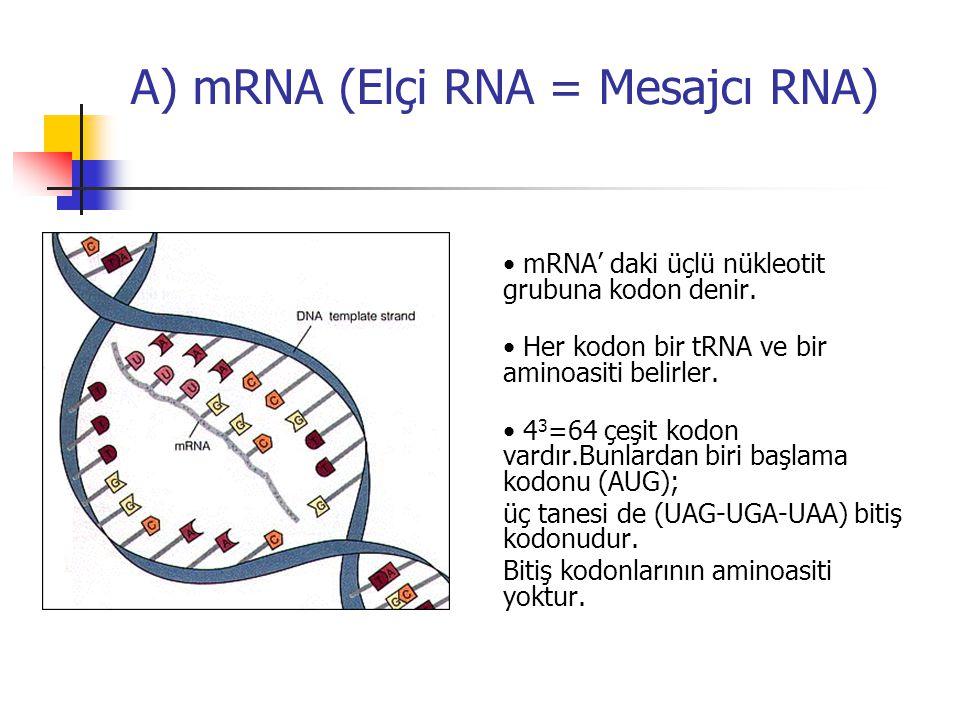 A) mRNA (Elçi RNA = Mesajcı RNA)