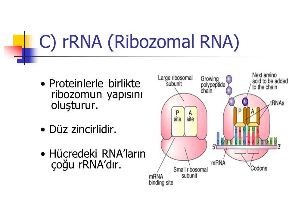C) rRNA (Ribozomal RNA)
