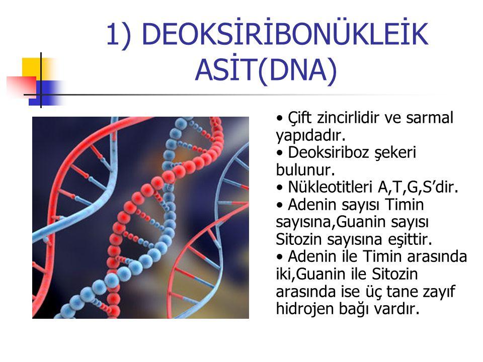 1) DEOKSİRİBONÜKLEİK ASİT(DNA)