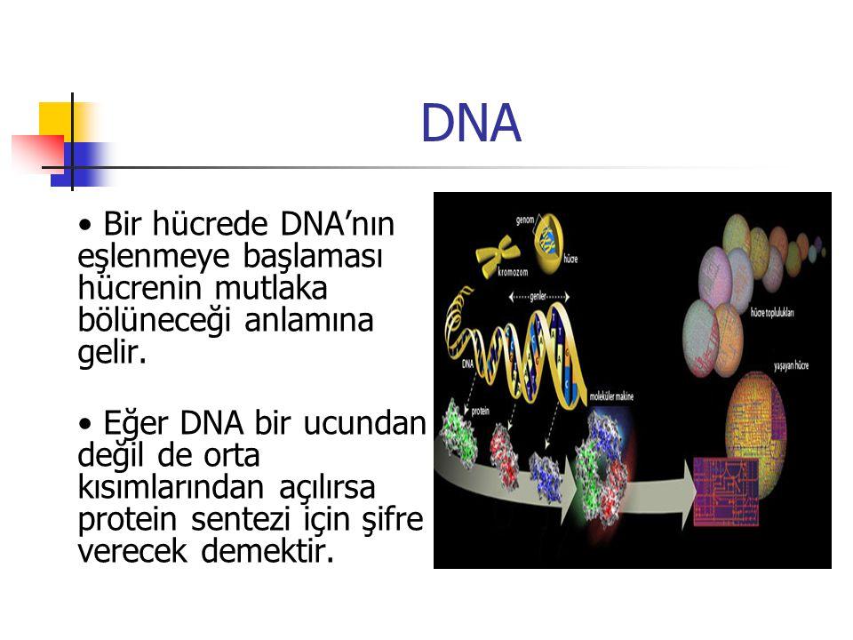 DNA • Bir hücrede DNA'nın eşlenmeye başlaması hücrenin mutlaka bölüneceği anlamına gelir.