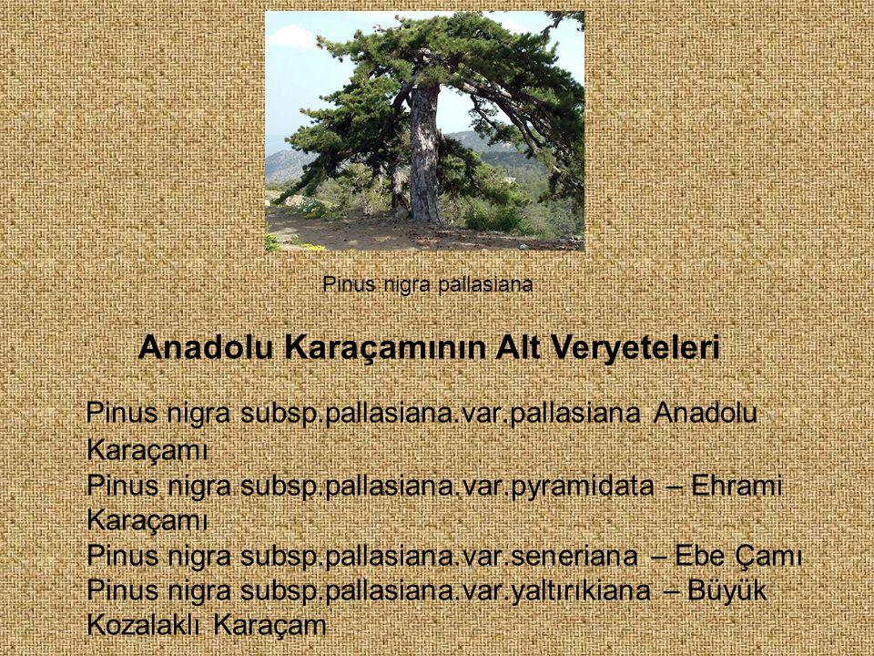 Anadolu Karaçamının Alt Veryeteleri