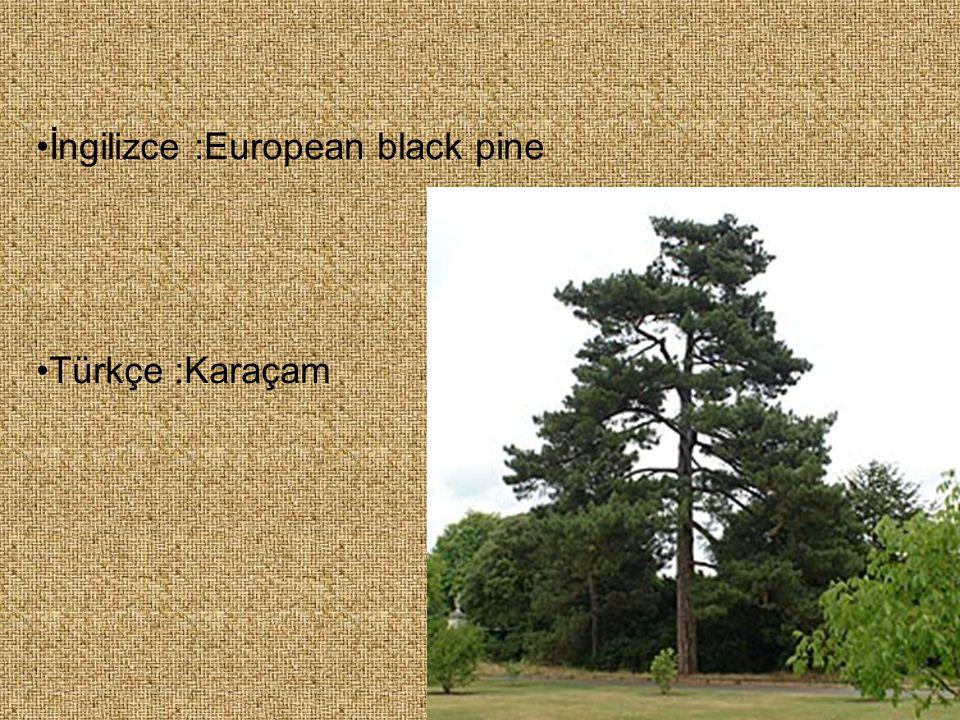 İngilizce :European black pine