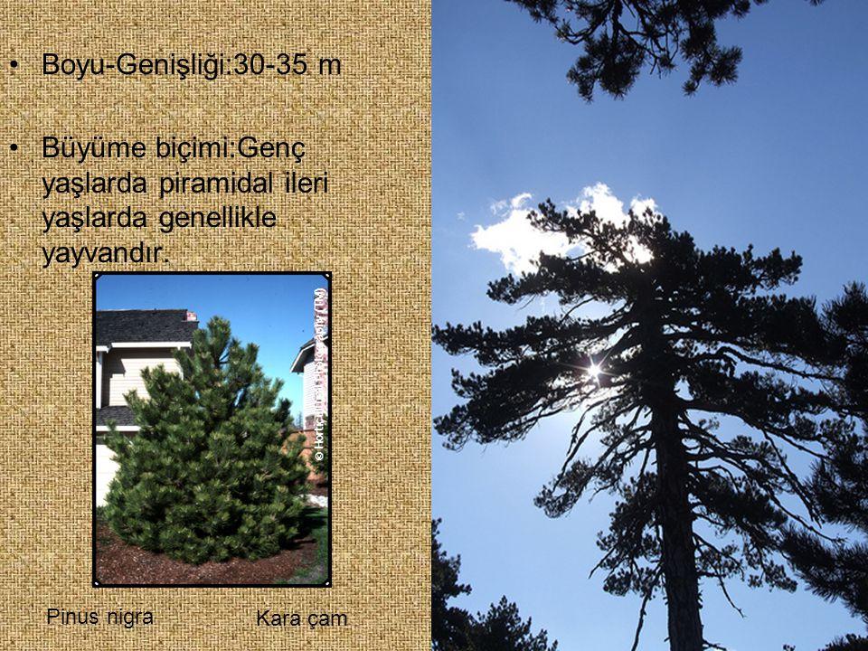Boyu-Genişliği:30-35 m Büyüme biçimi:Genç yaşlarda piramidal ileri yaşlarda genellikle yayvandır. Pinus nigra.