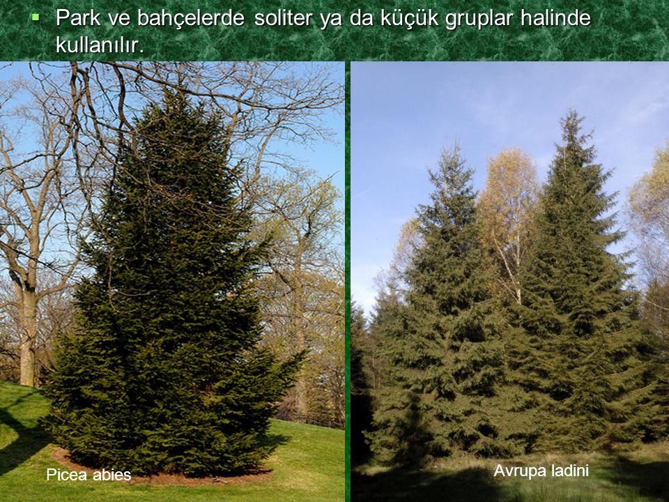 Park ve bahçelerde soliter ya da küçük gruplar halinde kullanılır.