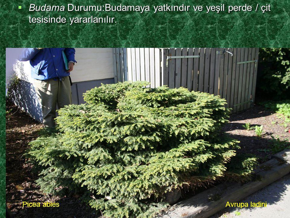 Budama Durumu:Budamaya yatkındır ve yeşil perde / çit tesisinde yararlanılır.