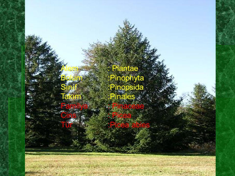 Alem : Plantae Bolum :Pinophyta. Sınıf :Pinopsida. Takım :Pinales. Familya : Pinaceae. Cins : Picea.