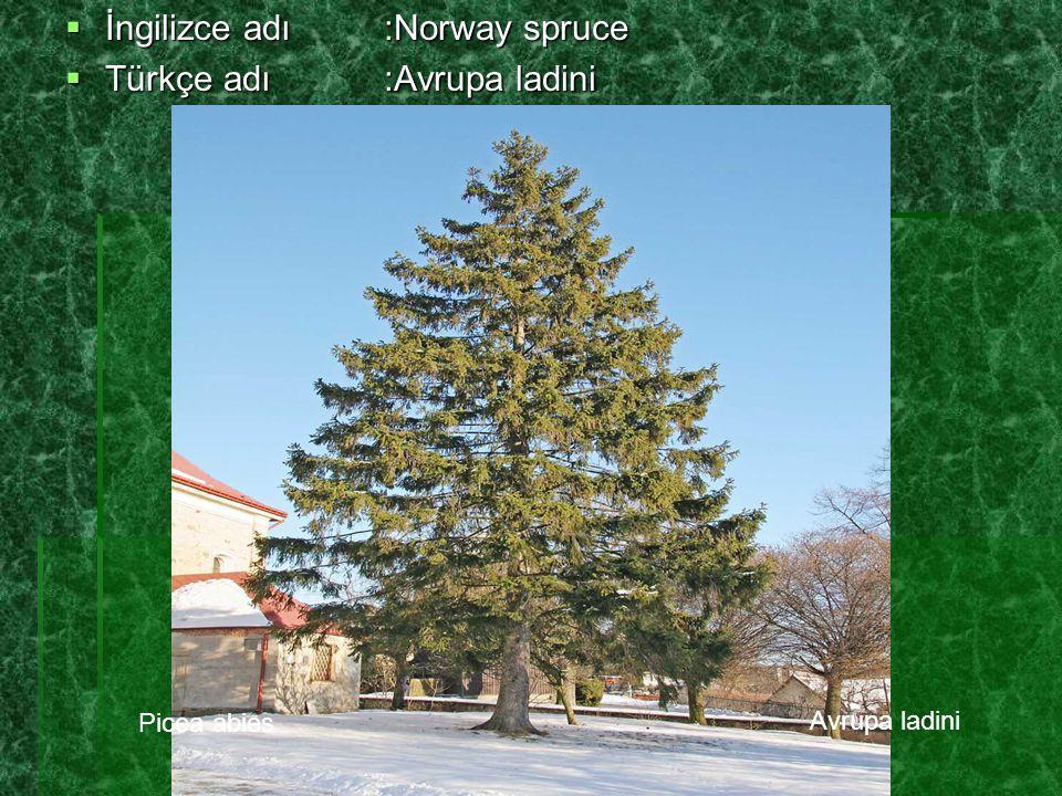 İngilizce adı :Norway spruce Türkçe adı :Avrupa ladini
