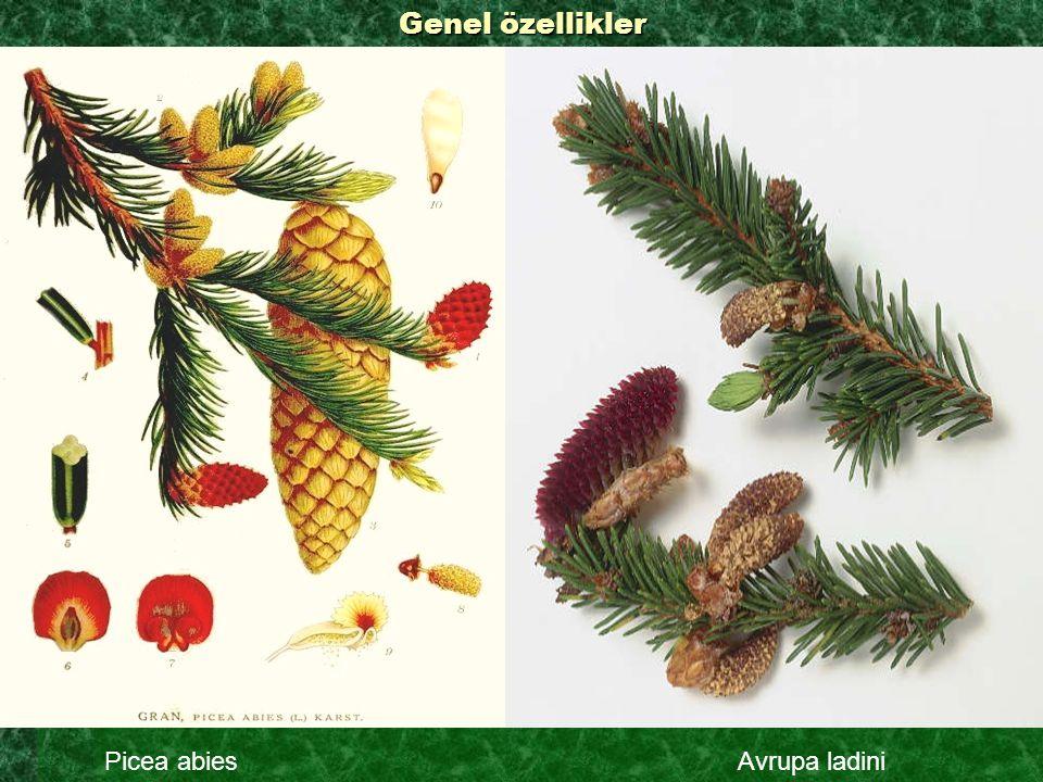 Genel özellikler Picea abies Avrupa ladini
