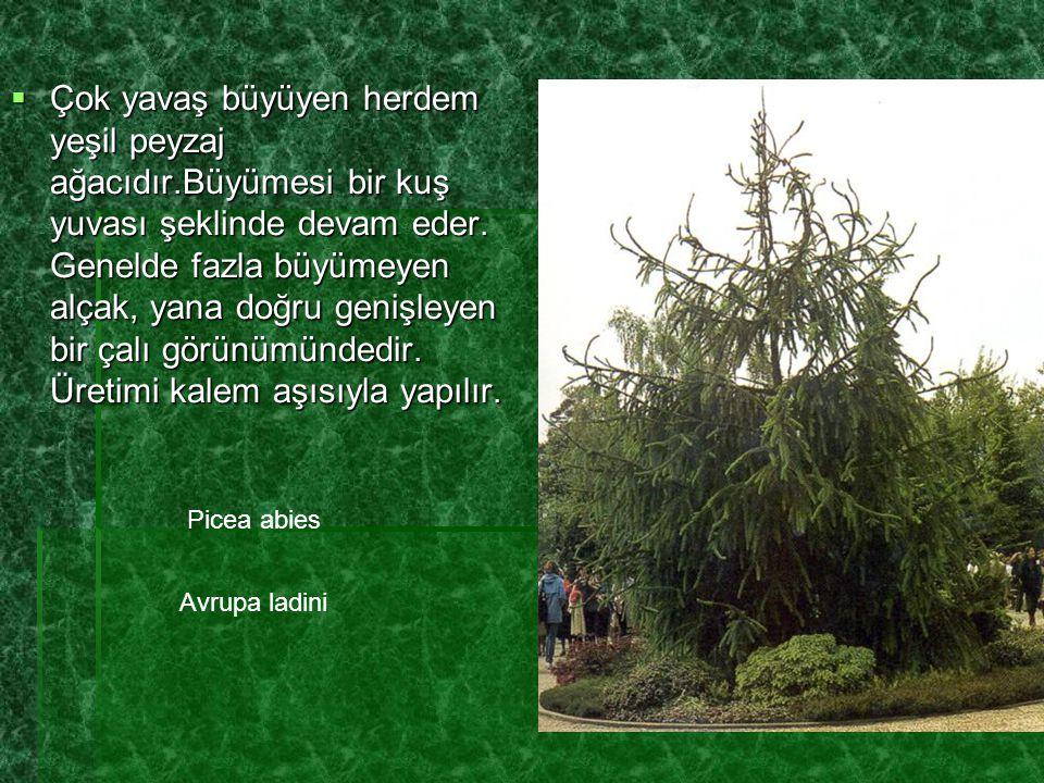 Çok yavaş büyüyen herdem yeşil peyzaj ağacıdır