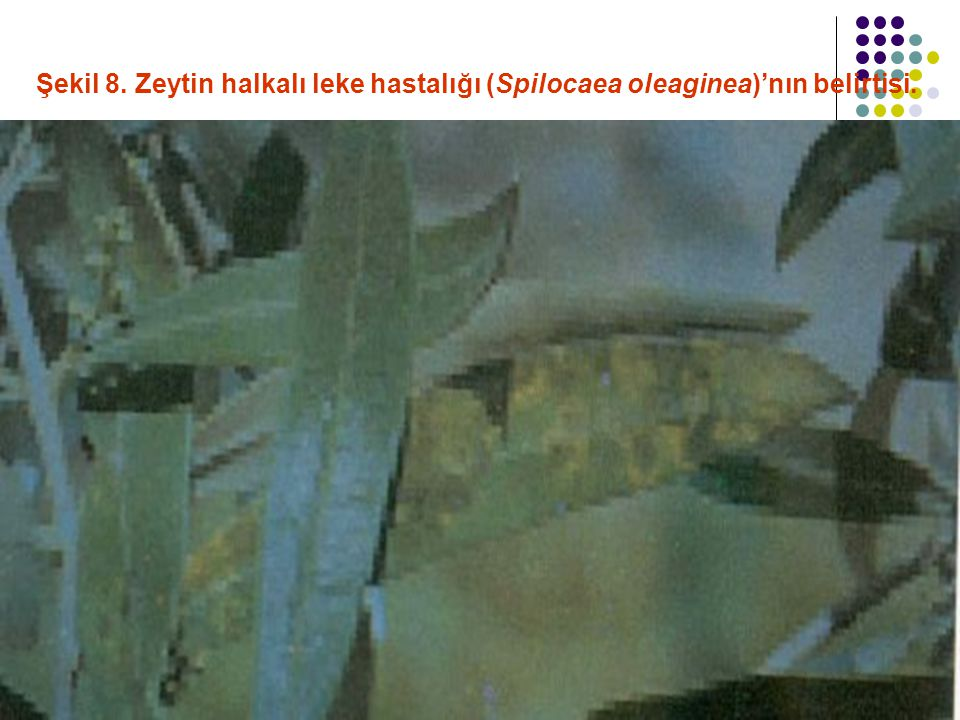 Şekil 8. Zeytin halkalı leke hastalığı (Spilocaea oleaginea)'nın belirtisi.
