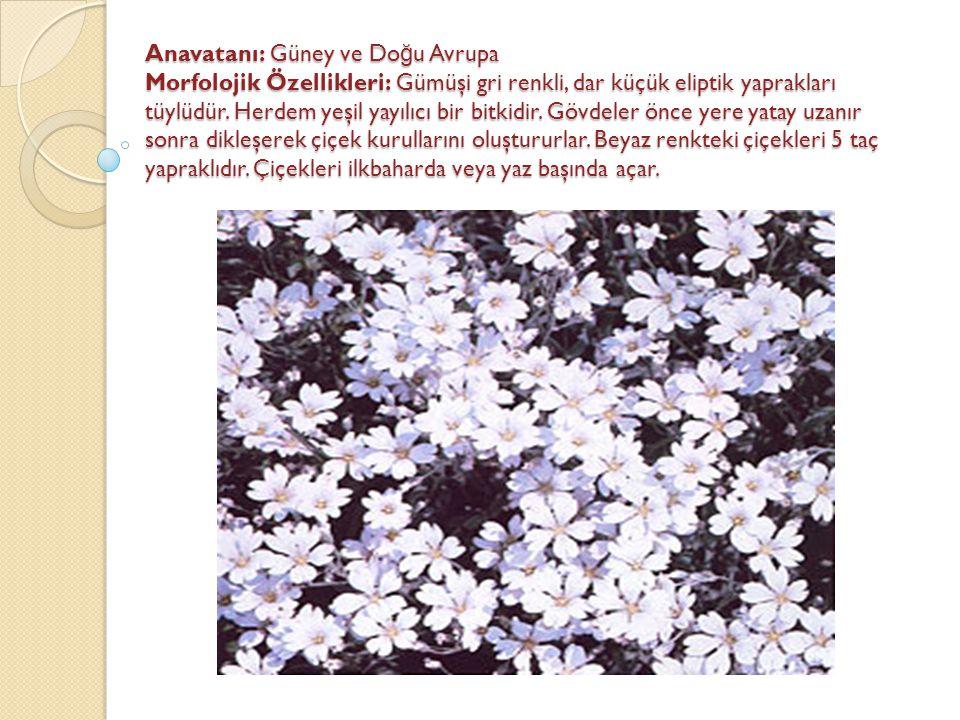 Anavatanı: Güney ve Doğu Avrupa Morfolojik Özellikleri: Gümüşi gri renkli, dar küçük eliptik yaprakları tüylüdür.
